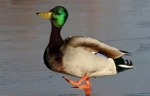 Abécédaire-canard